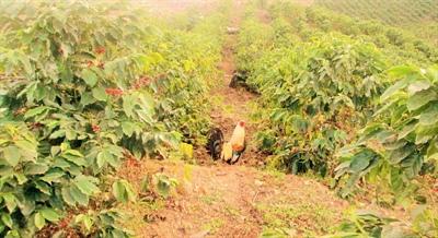 La vie dans une plantation de café au Honduras (3)