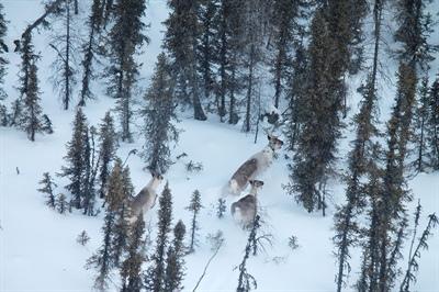 Femelle caribou et ses deux faons