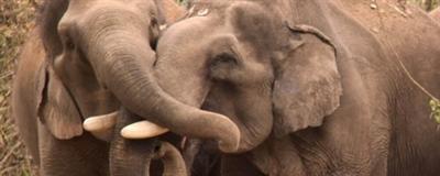 Éléphants dans refuge au Laos