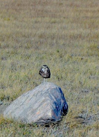 Chevêche des terriers scrutant le paysage depuis un rocher dans le Parc national des Prairies