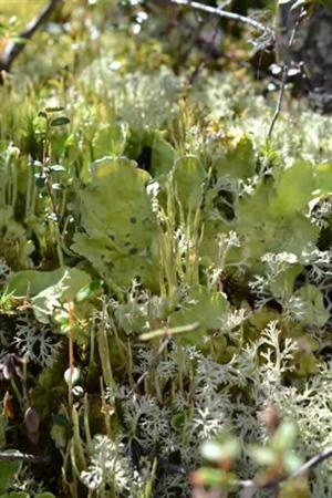 Lichens dans la forêt boréale de l'Alaska. Lorsqu'on les regarde de près, c'est comme une forêt miniature.