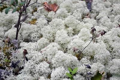 Cladonia stellaris, une des espèces utilisée par le caribou. C'est une espèce de lichen que l'on retrouve partout dans les forêts de conifères âgées de la forêt boréale canadienne.