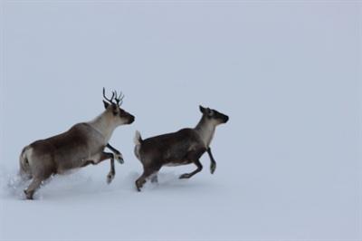 Caribous forestiers dans le Nord de la Saskatchewan
