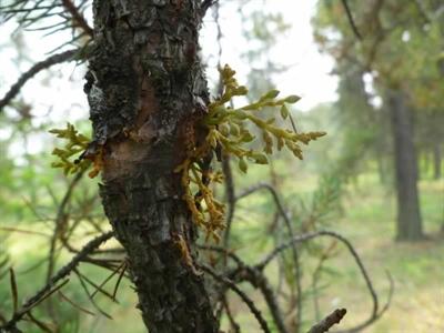 Plant de faux-gui sur une branche de pin gris
