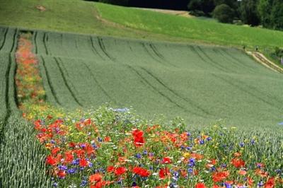 Des bandes de fleurs sauvages permettent de réduire l'utilisation de pesticides.