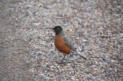 Les oiseaux qui annoncent le printemps