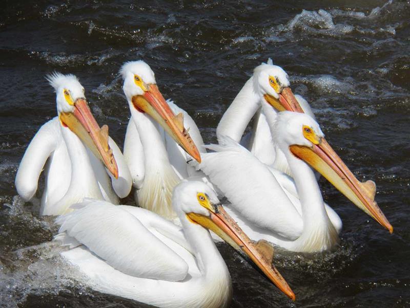 Pélicans avec bec corné